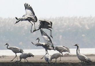 近百只灰鹤现身黄河洽川湿地